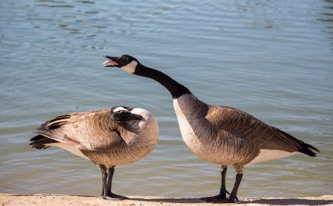Two geese with one acting in an aggressive posture