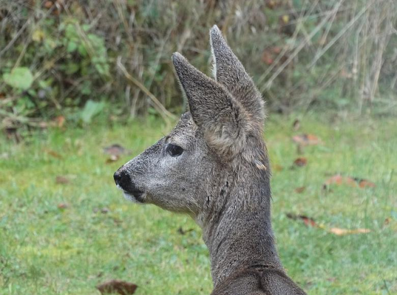 A wild deer head and neck visible in the photo with ears up attentively listening