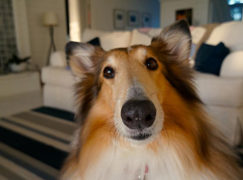 Collie looking questioningly at the camera